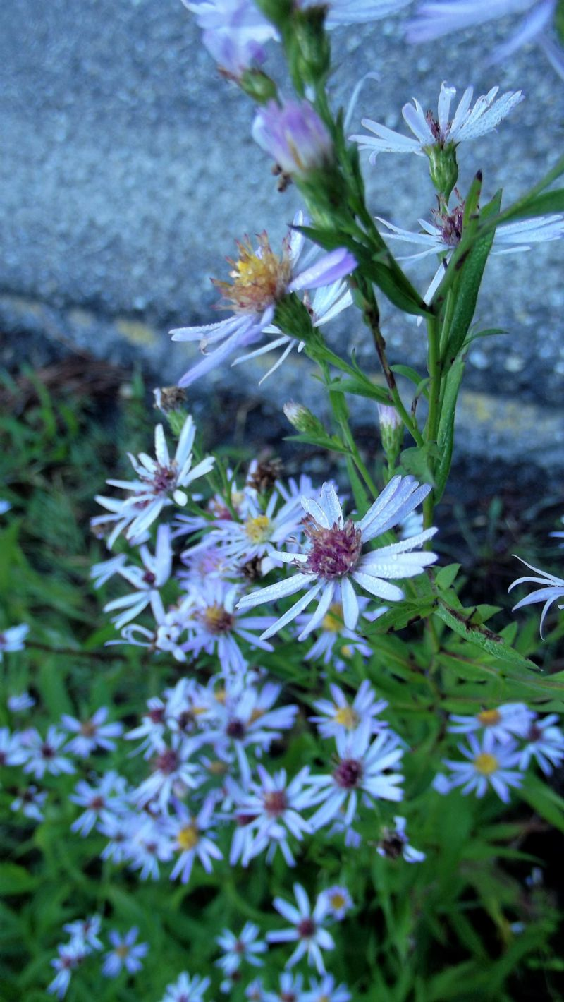 Asteraceae: Symphyotrichum novi-belgii