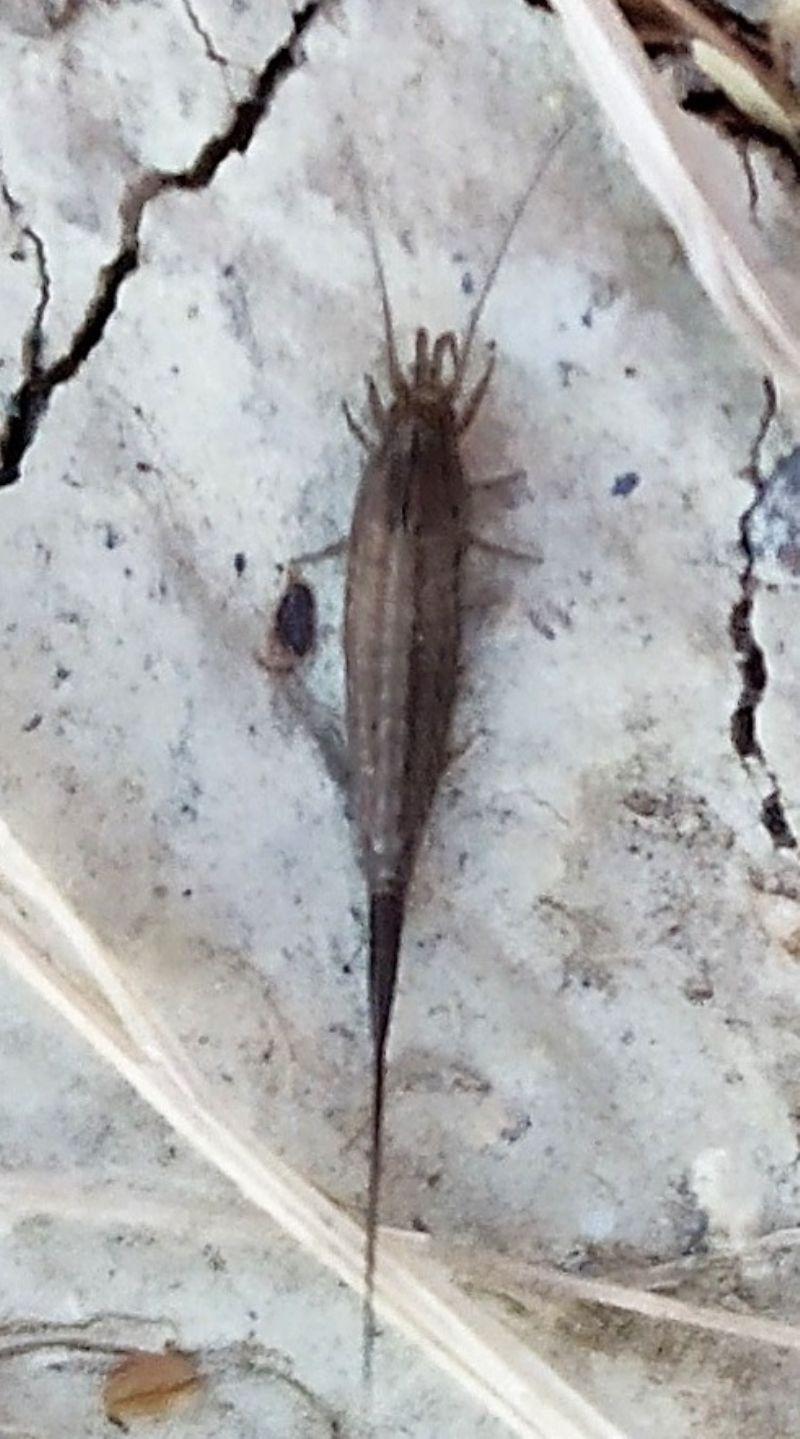 insetto strano:  Microcoryphia da determinare