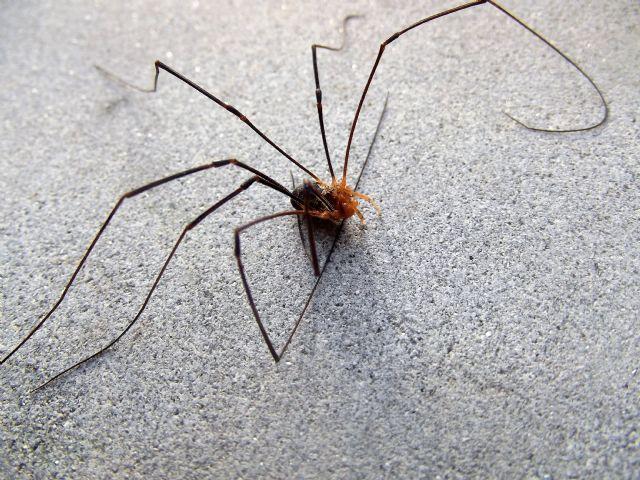 Gyas titanus - Phalangidae
