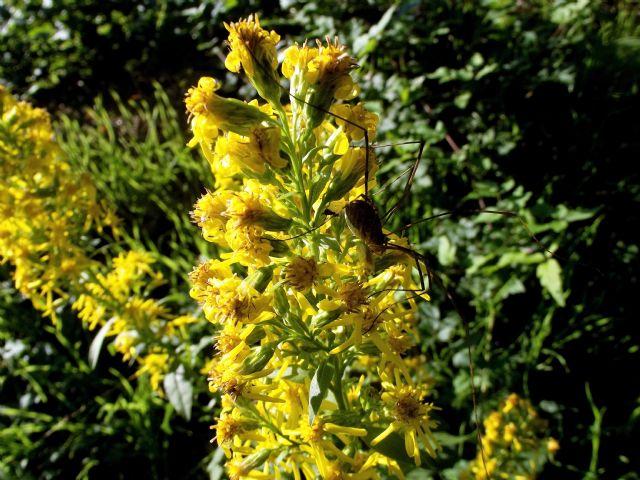 Solidago virgaurea (Asteraceae)