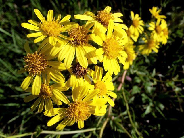 Asteraceae: Jacobaea erucifolia