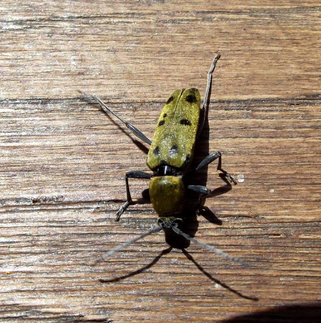 Cerambicidae?  Sì, Chlorophorus glabromaculatus