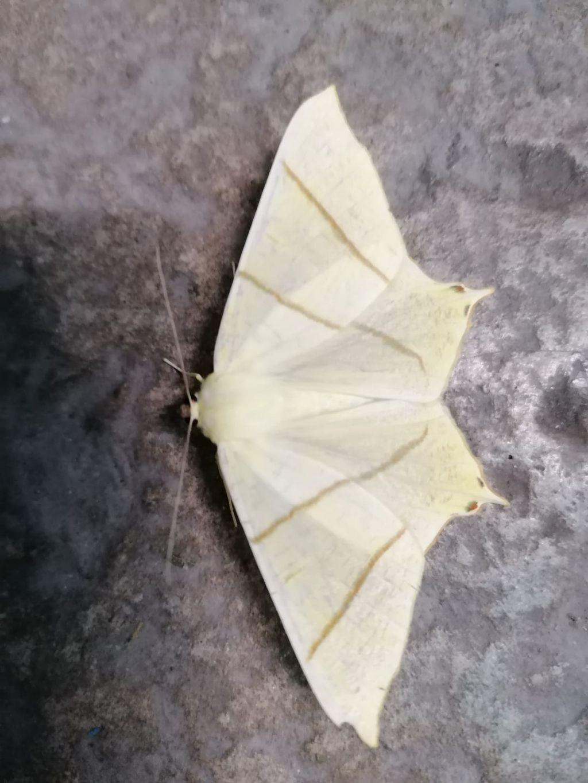 Falena? Ourapteryx sambucaria - Geometridae