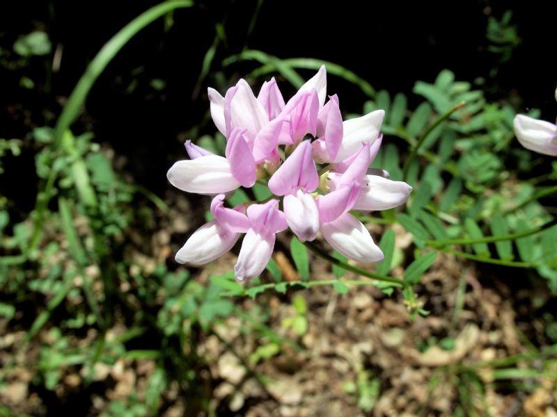 Astragalus?  No, Securigera varia (Fabaceae)