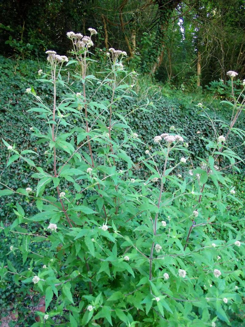 Che pianta è?  Eupatorium cannabinum (Asteraceae)