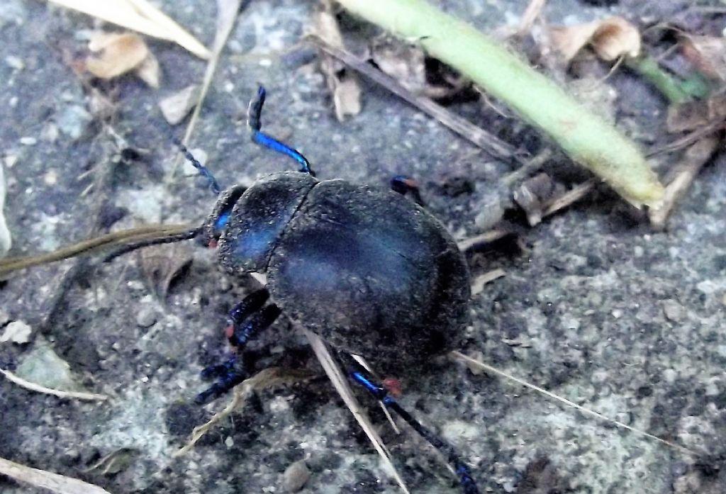 Carabidae ?  No, Chrysomelidae: Timarcha nicaeensis