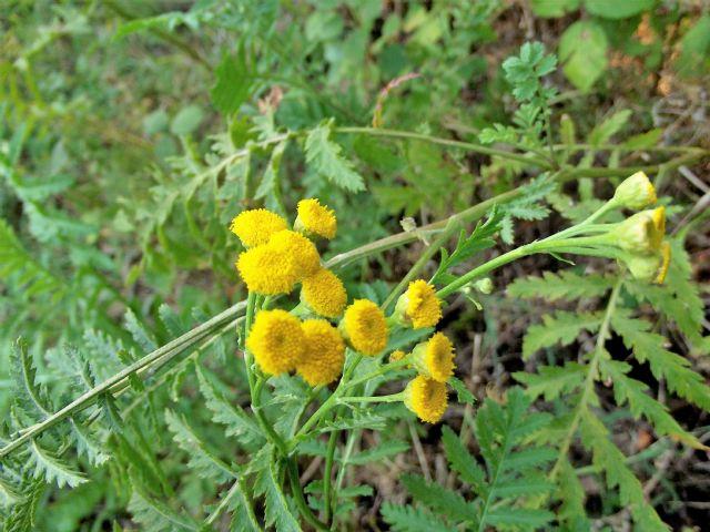 Piccola asteracea gialla. Tanacetum vulgare