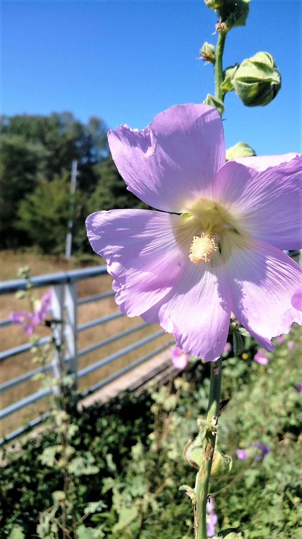 Alcea biennis?  Alcea cfr. setosa (Malvaceae)