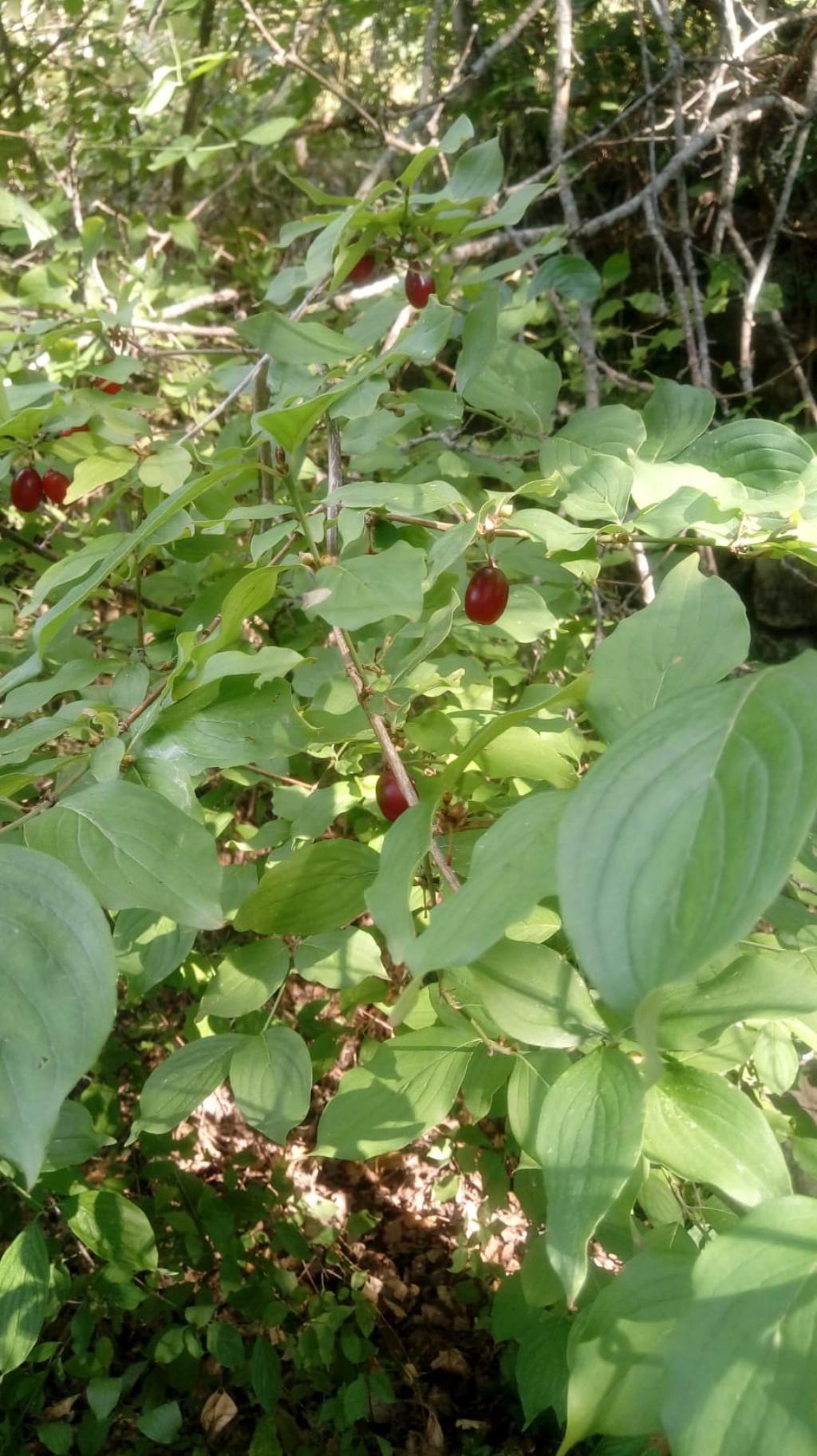 Cornus mas (Cornaceae)