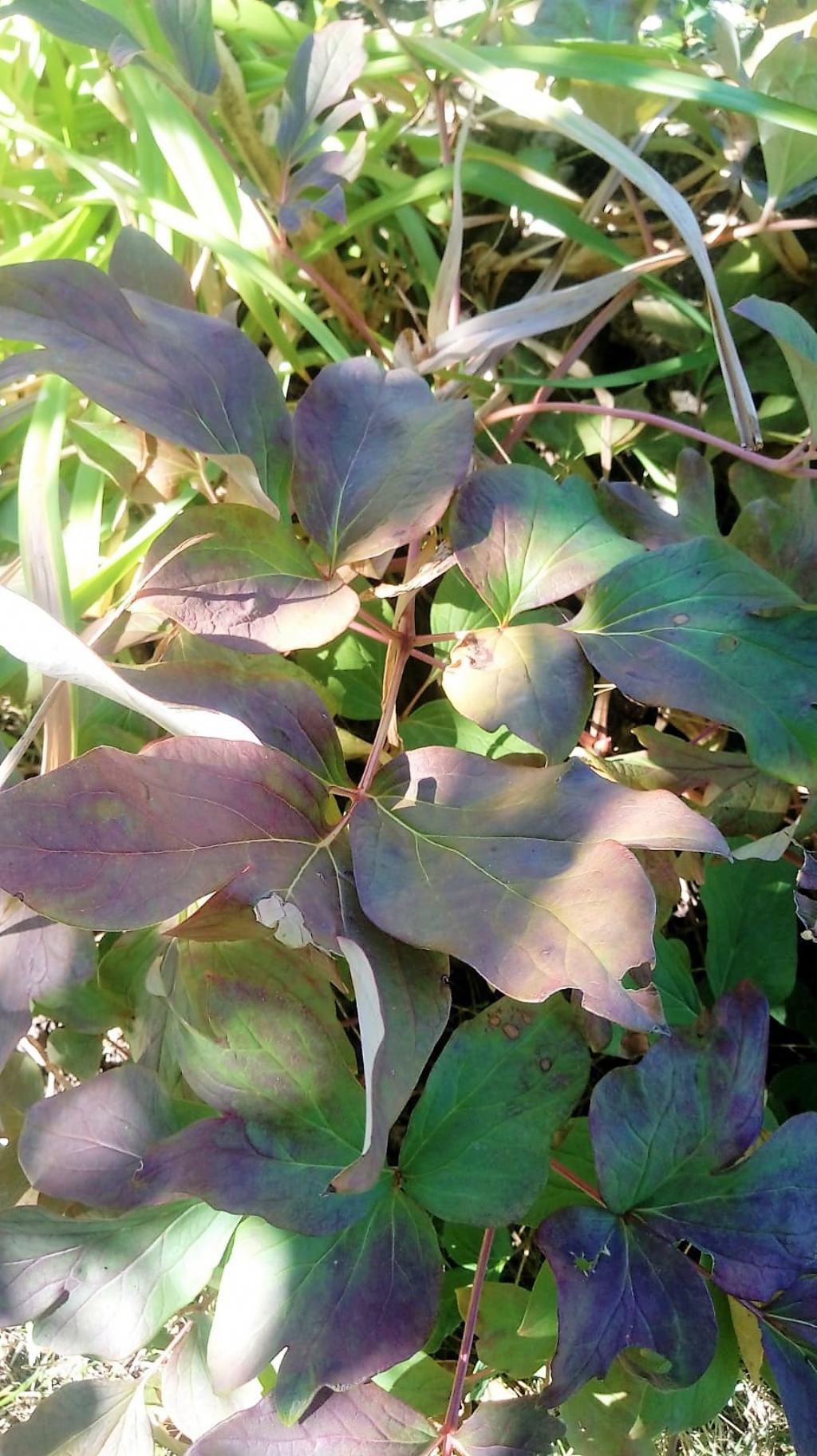 Paeonia sp.  (Saxifragales Paeoniaceae)