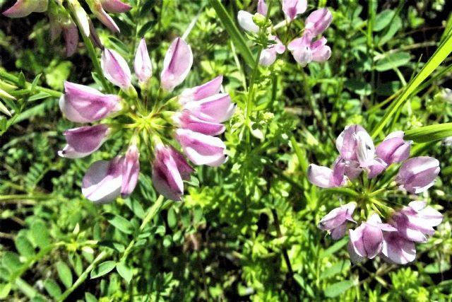 Fabaceae:  Securigera varia