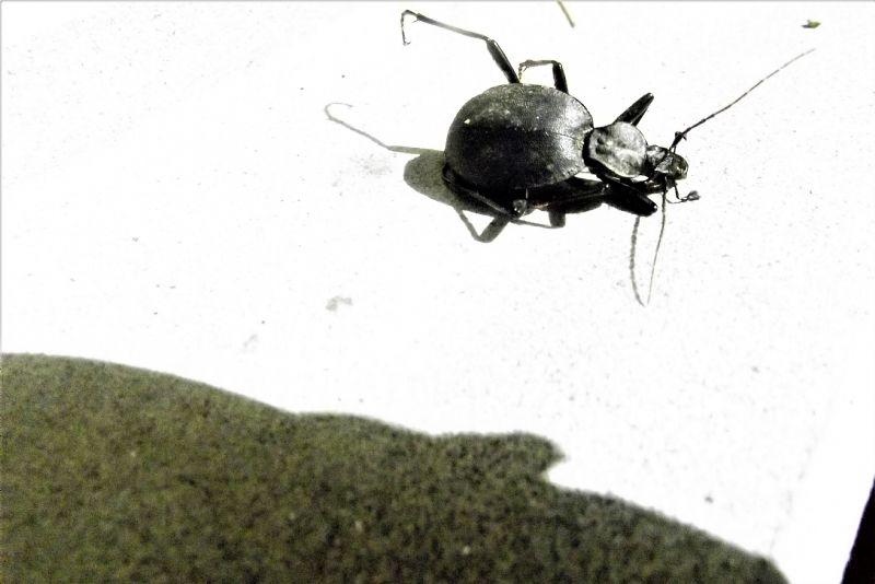Carabidae: Cychrus italicus
