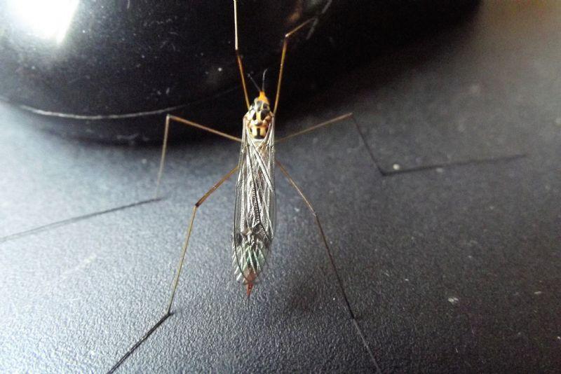 Tipulidae: Nephrotoma sp., femmina