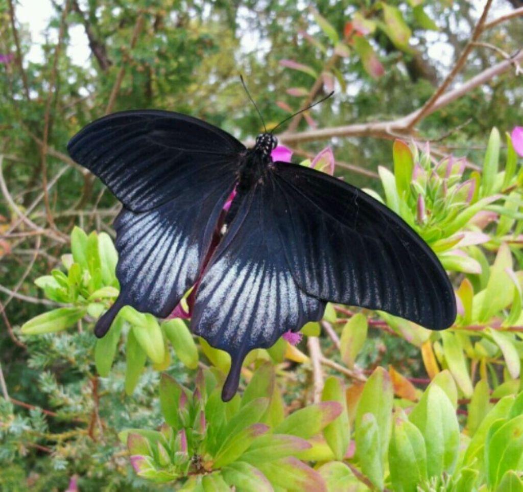 Farfalla nera:  maschio di Papilio memnon lowii