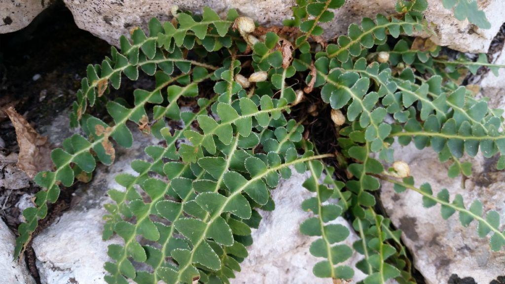 Che tipo di felce asplenium ceterach forum natura for Che tipo di prestito puoi comprare terra