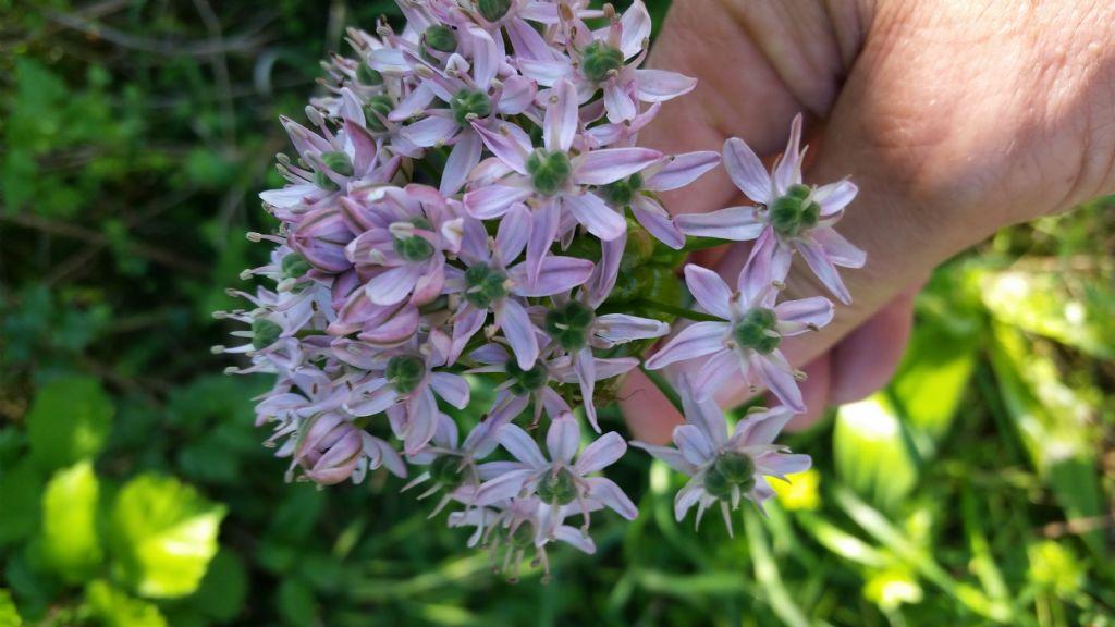 Allium nigrum L. (Amaryllidaceae )