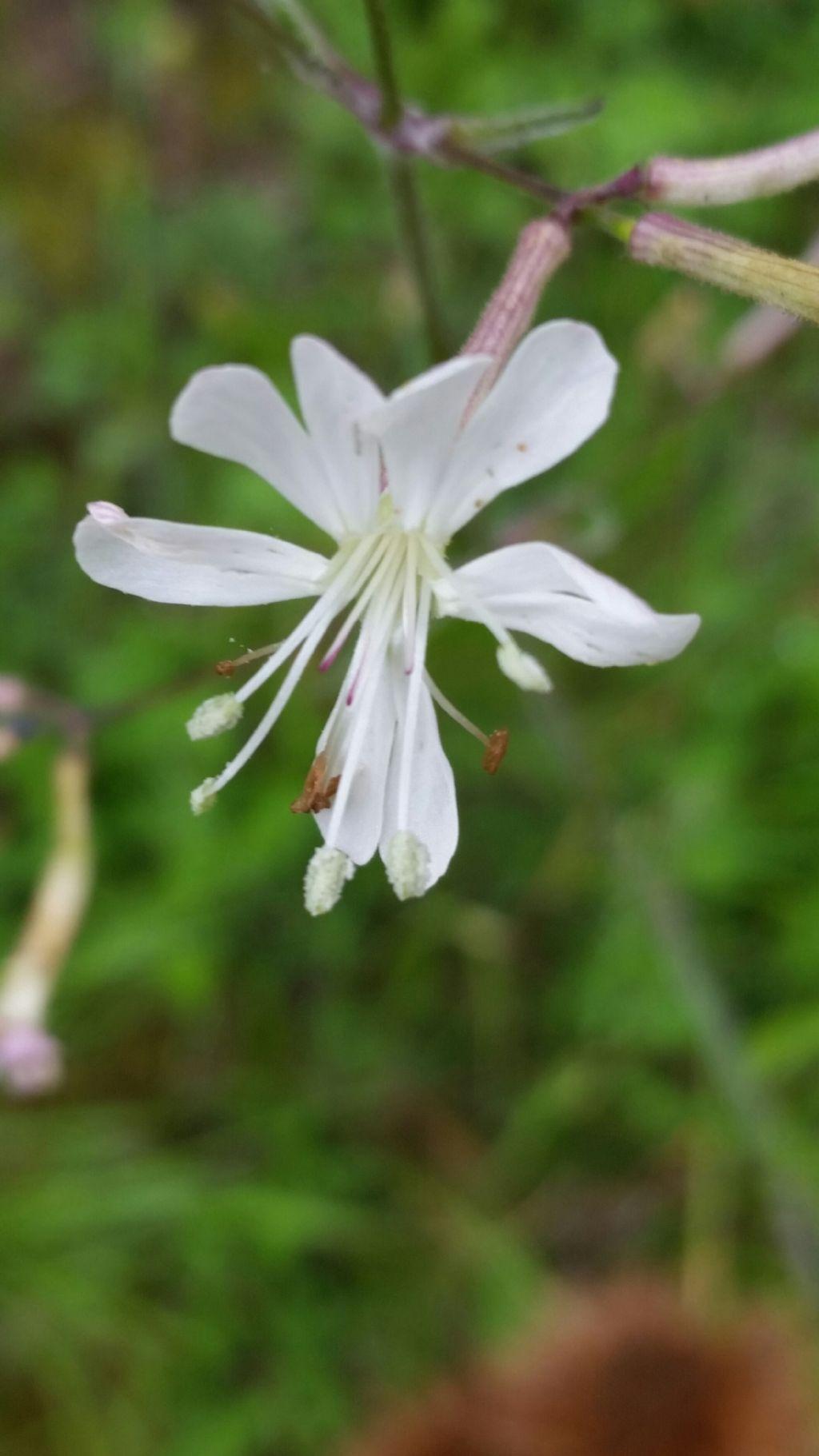 Silene sp. (Caryophyllaceae)