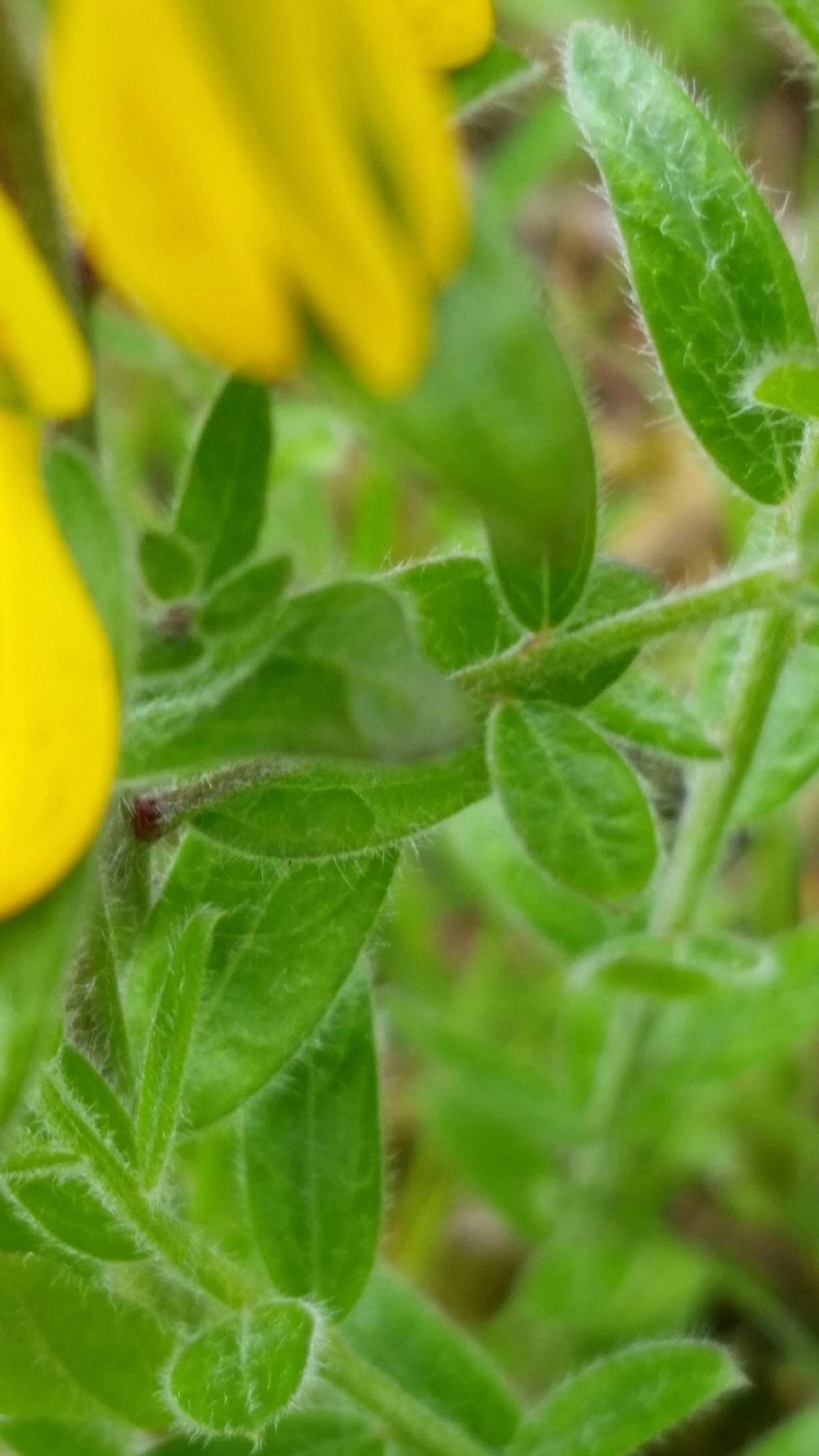 Genista tinctoria  (Fabaceae)