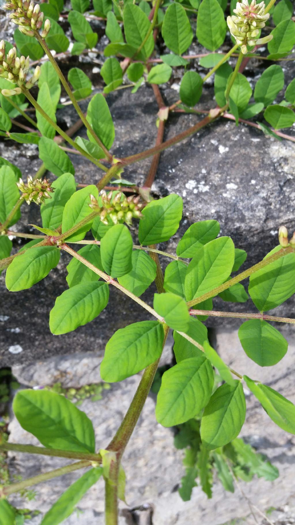 Astragalus glycyphyllos (Fabaceae)