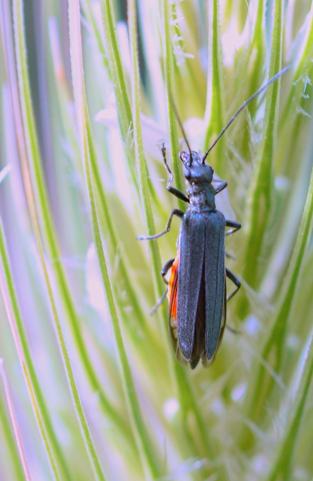 Oedemera gruppo lurida: femmina di O. crassipes (cfr.)