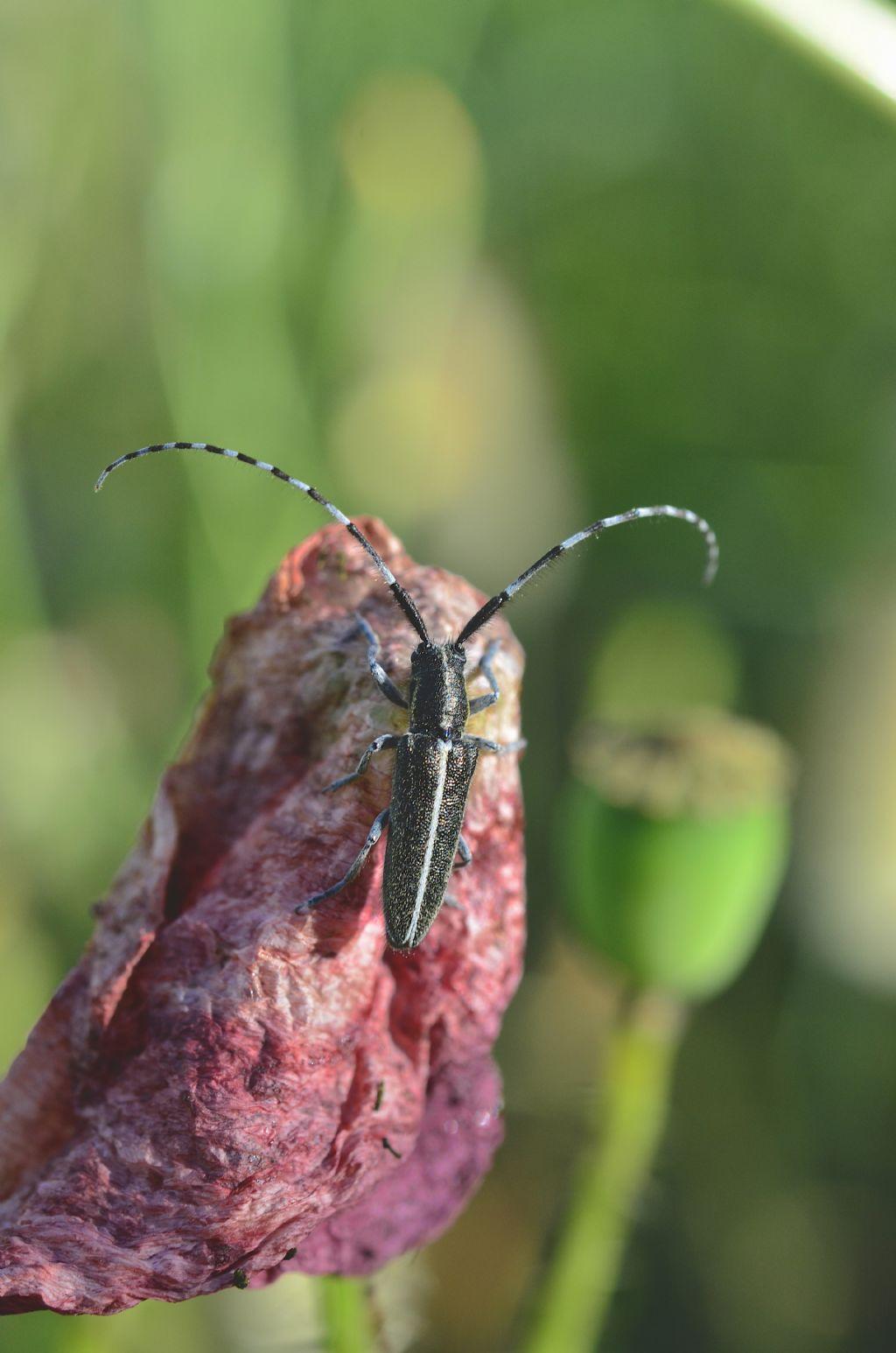 Cerambycidae: Agapanthia suturalis ?  Sì !