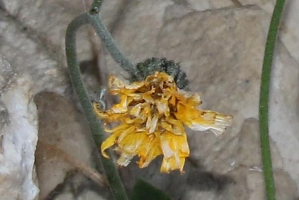 Asteracea su rupe rocciosa: Hieracium sp.