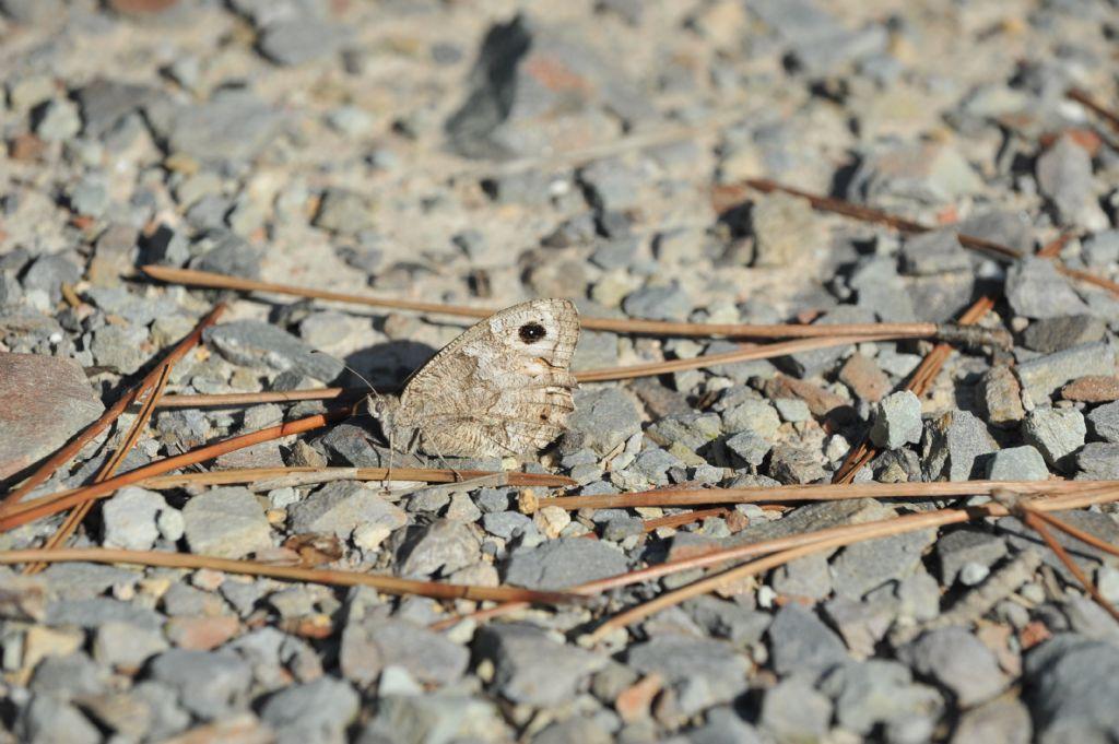 Hipparchia statilinus, femmina  - Nymphalidae Satyrinae