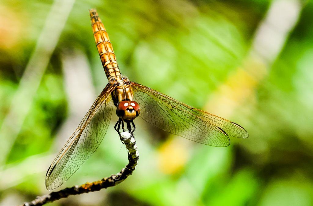 Aiuto per identificazione: Trithemis annulata