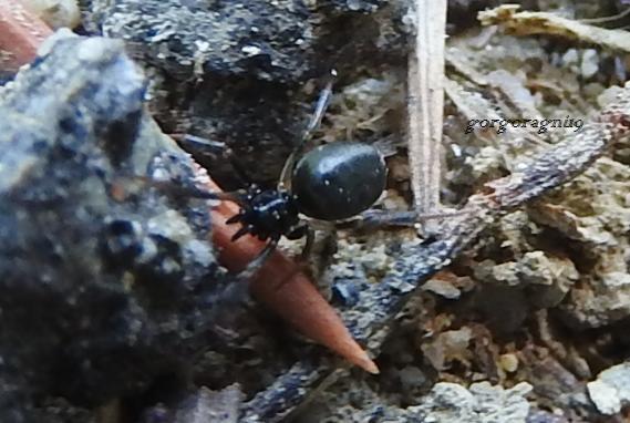 Lasaeola cfr. coracina -   Gorgoglione (MT)