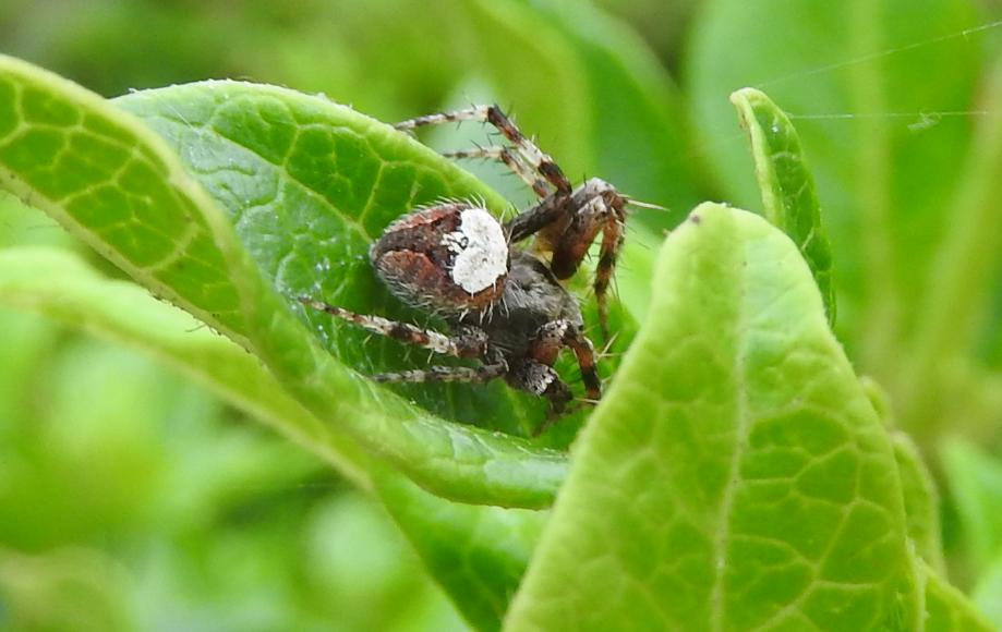 Araneus triguttatus? No, Neoscona subfusca - Gorgoglione (MT)