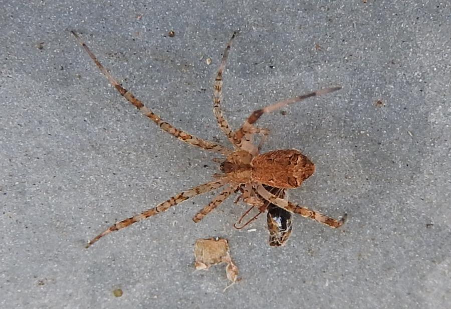 Episinus maculipes - Gorgoglione (MT)
