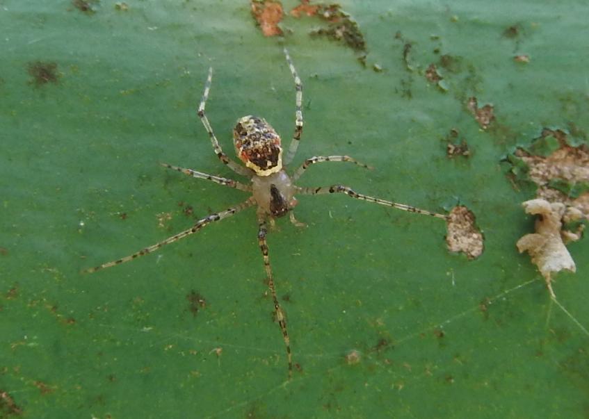Platnickina tincta - Gorgoglione (MT)