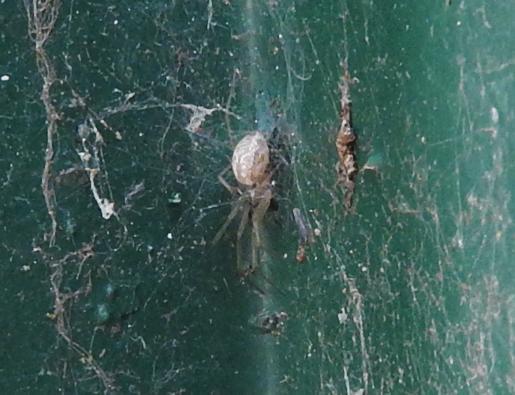 ID piccolo ragno chiaro