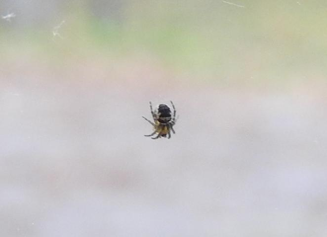 ID ragno piccolissimo
