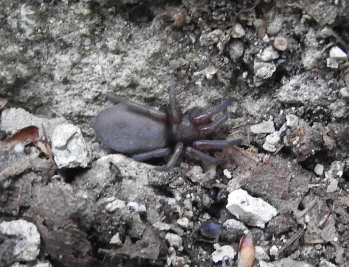 ID ragno scuro