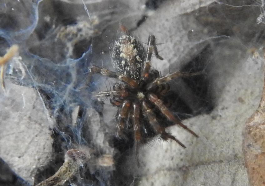 ID ragno sotto pietra