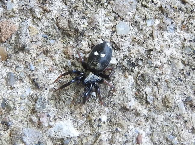 ID ragno scuro a pois