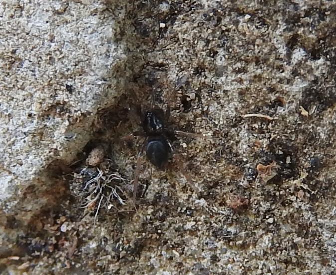 Cetonana laticeps - Gorgoglione (MT)