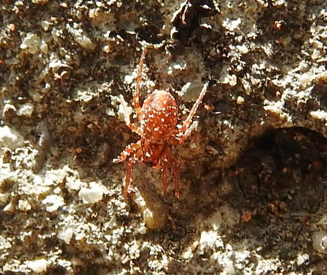 ID ragno rosso