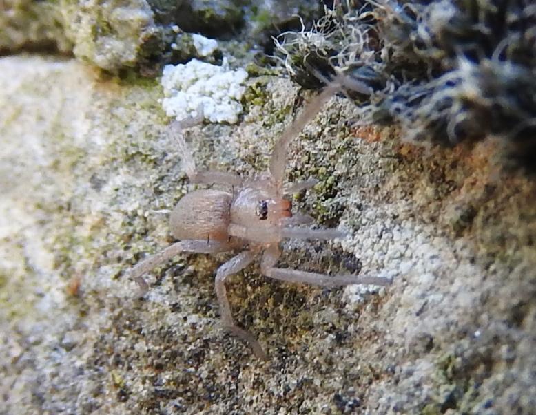 Drassodes sp. - Gorgoglione (MT)