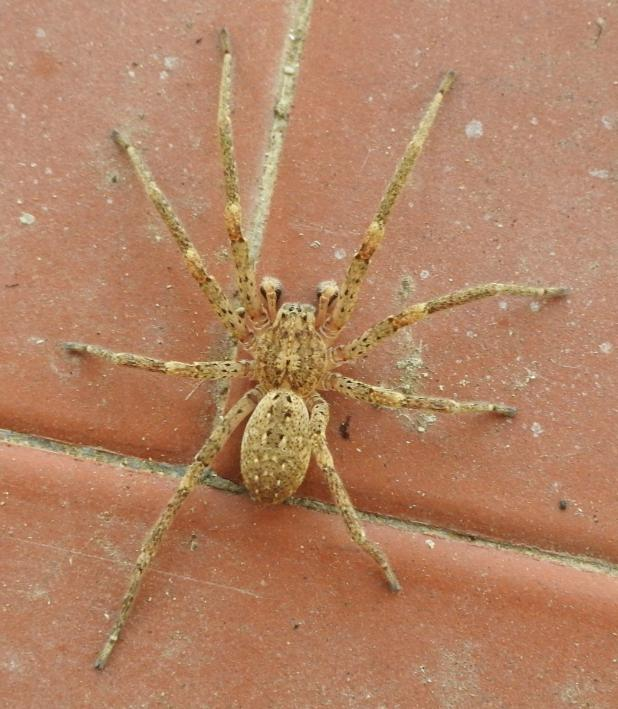Zoropsis spinimana - Gorgoglione (MT)