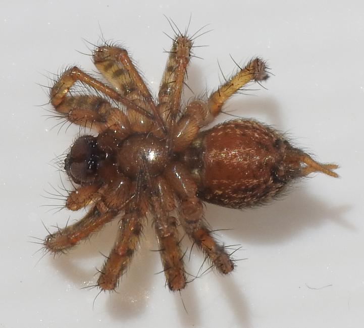 Lycosoides coarctata?   No, Maimuna vestita - Gorgoglione (MT)