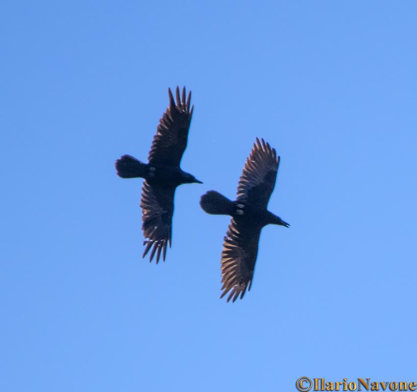 Corvi imperiali (Corvus corax)
