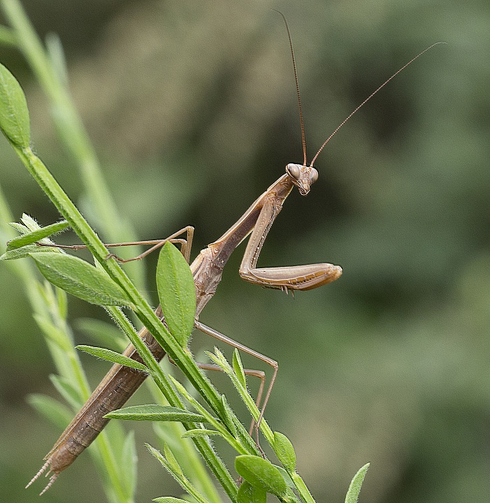 Mantis religiosa, maschio