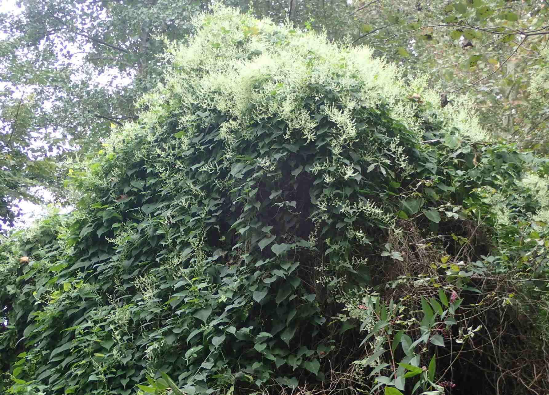 Rampicanti invasivi:  diverse specie di Fallopia sp. (Polygonaceae)