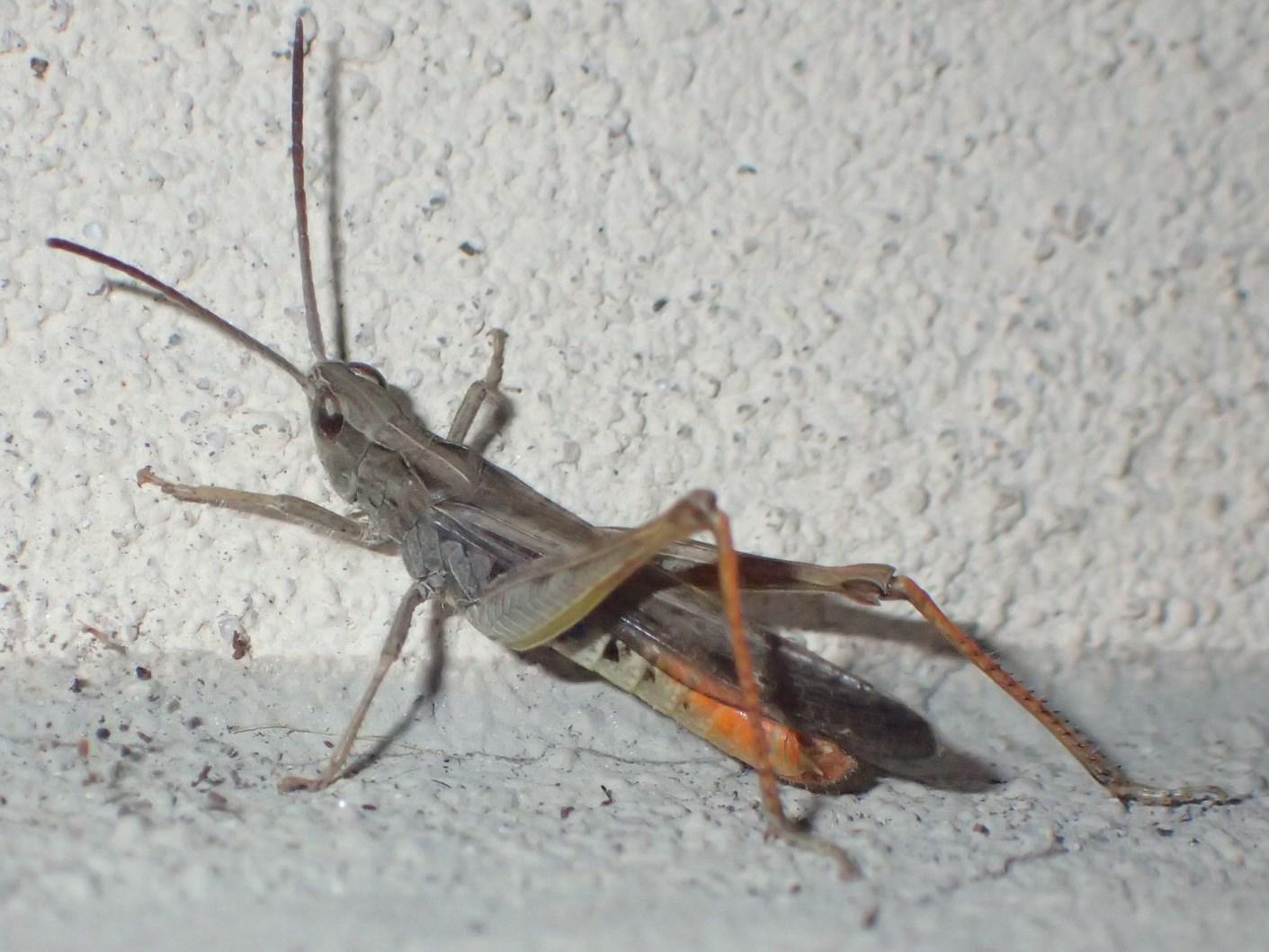 Sotto un lampione: Omocestus rufipes, maschio
