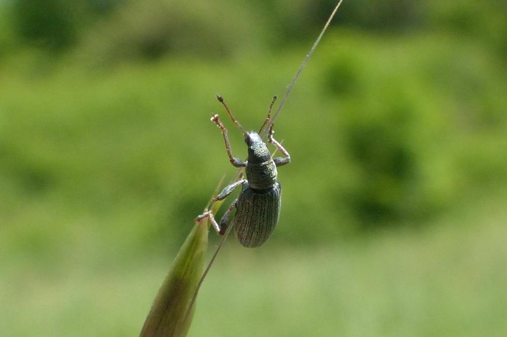 Curculionidae: Polydrusus impar