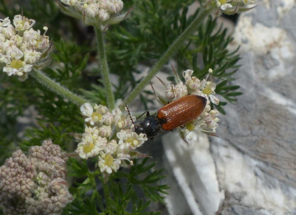 Anostirus cfr. gabilloti, femmina (Elateridae)
