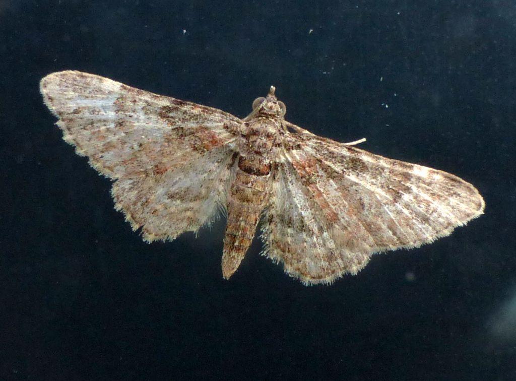 Gymnoscelis rufifasciata, femmina (Geometridae)