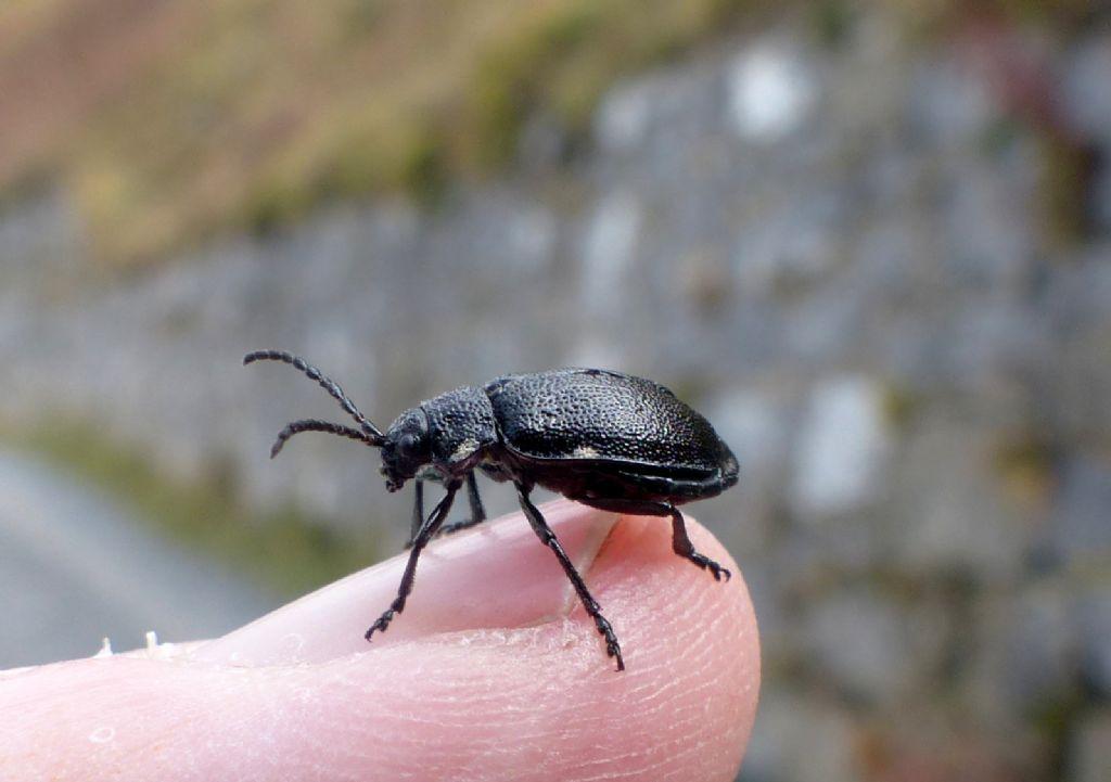 Chrysomelidae: Galeruca tanaceti